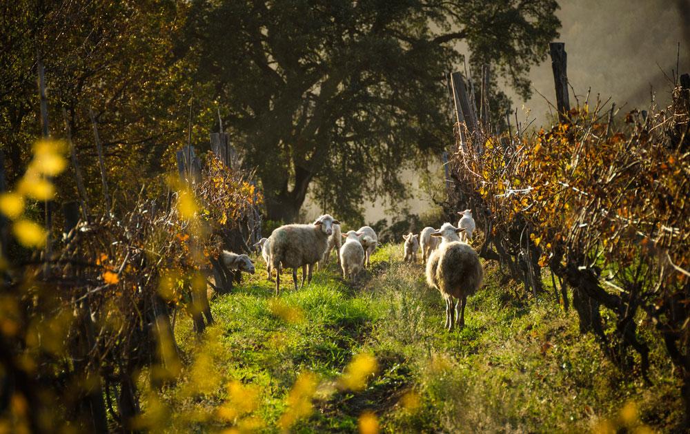 Pecore-Manciano